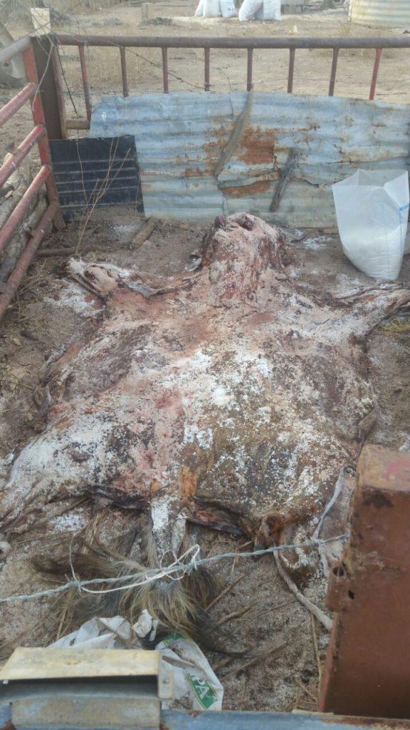 Desarticulada una banda dedicada al sacrificio y venta de carne de burros